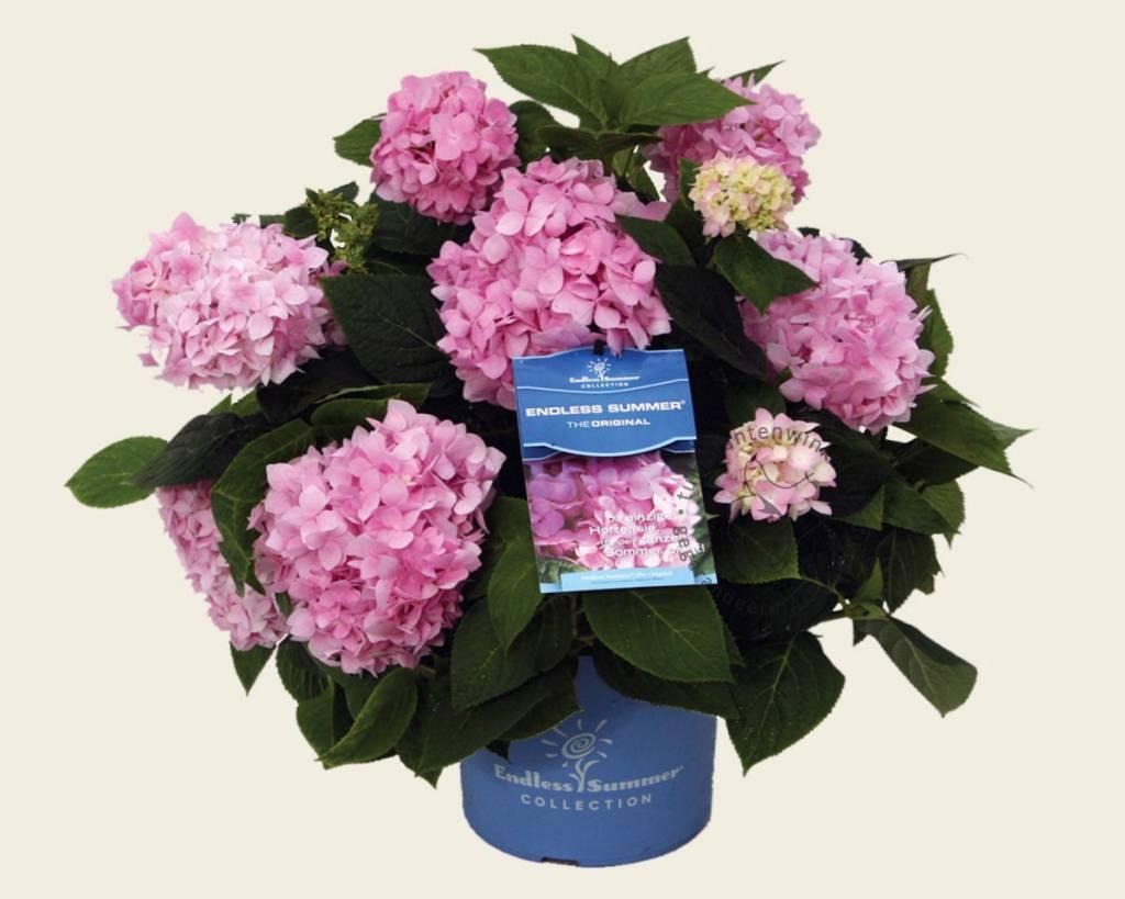 hydrangea macrophylla 39 endless summer pink. Black Bedroom Furniture Sets. Home Design Ideas