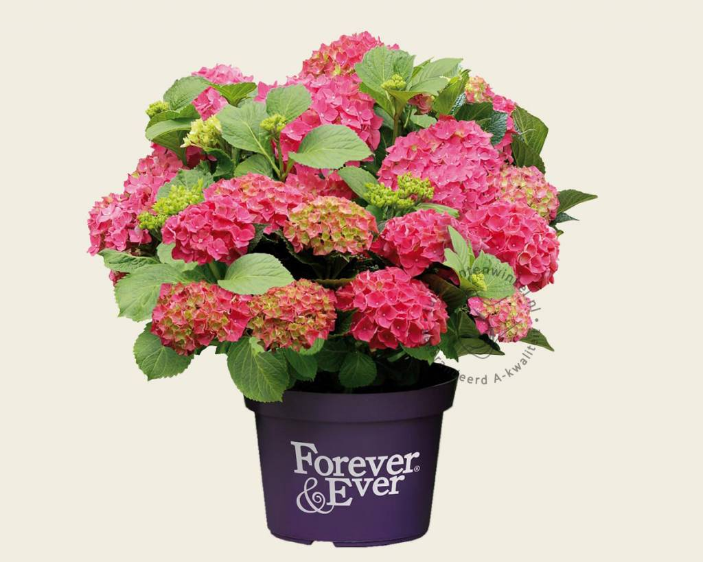 hydrangea macrophylla 39 forever ever 39 rood