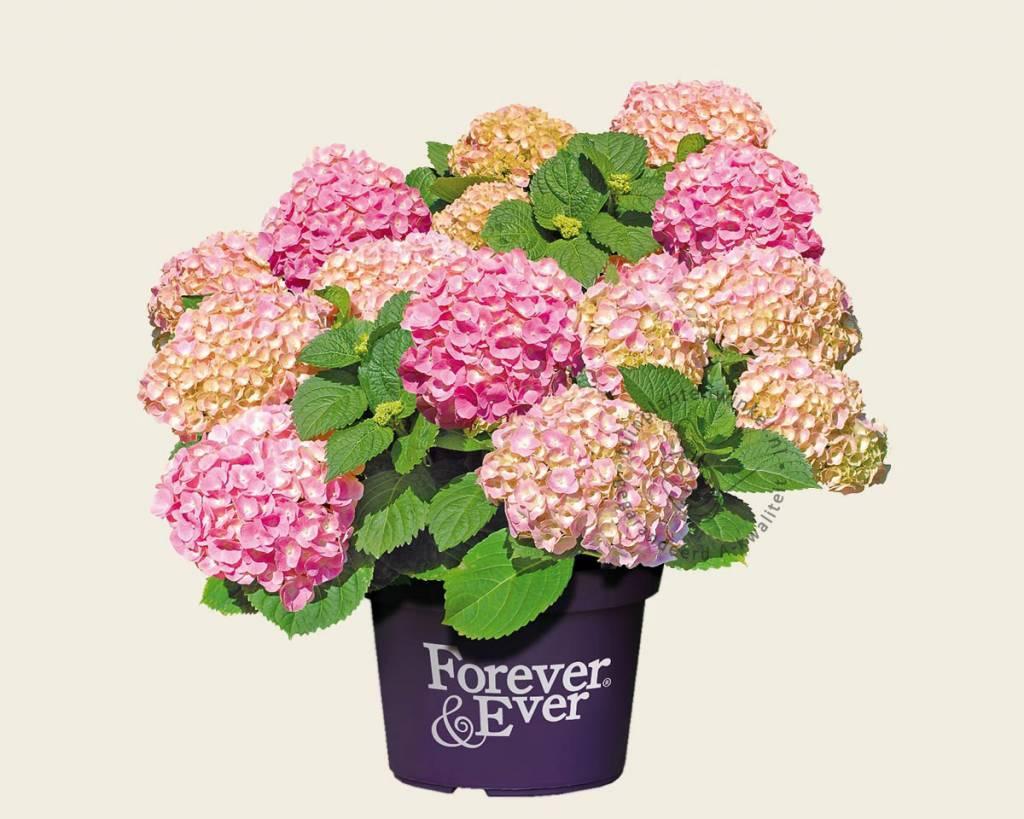 hydrangea macrophylla 39 forever ever 39 roze. Black Bedroom Furniture Sets. Home Design Ideas