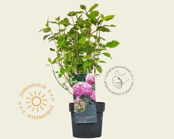 Hydrangea arborescens 'Invincibelle' (Pink Annabelle)