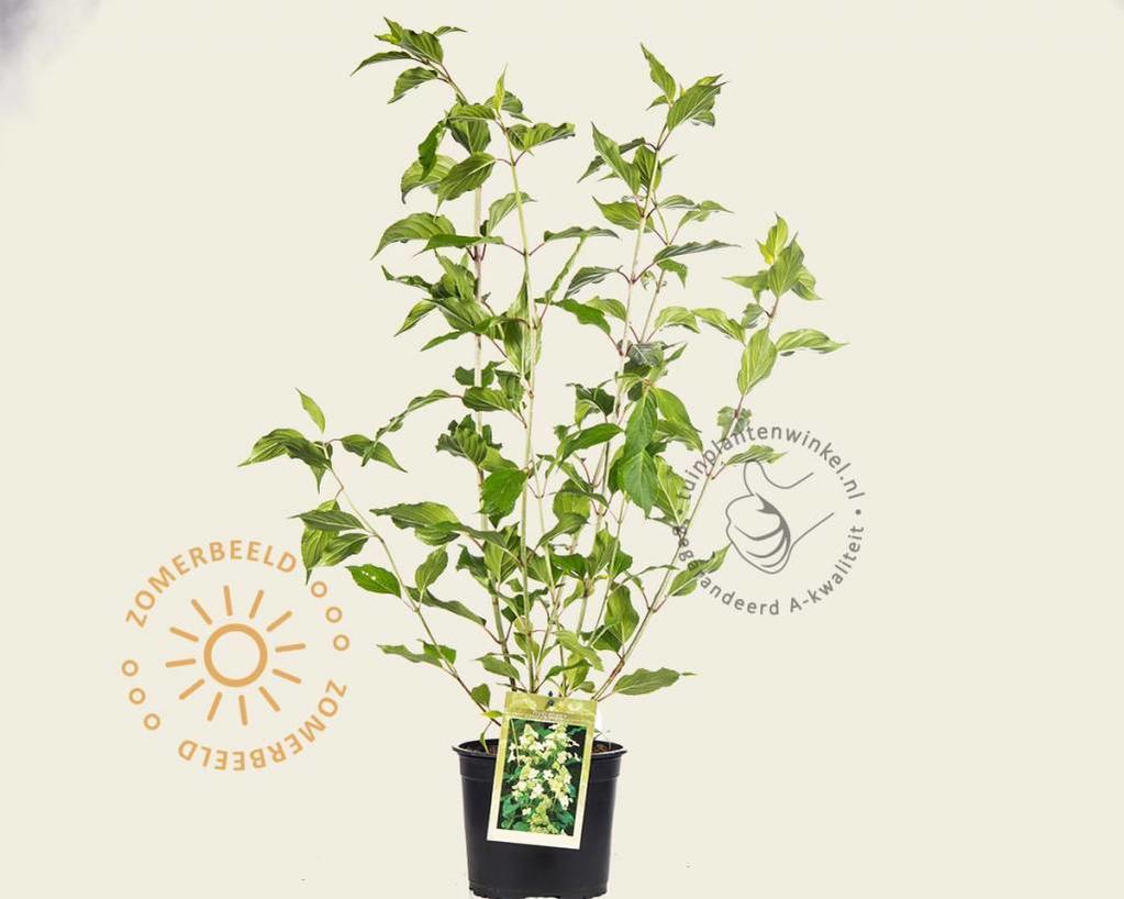 Hydrangea paniculata 'Kyushu'
