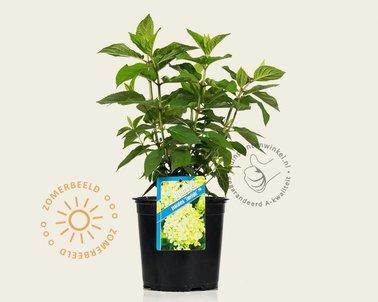 Klik hier om Hydrangea paniculata 'Limelight' te kopen
