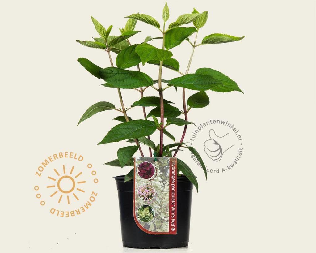 Klik hier om Hydrangea paniculata 'Wim's Red' te kopen