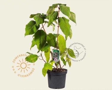 Klik hier om Hydrangea aspera 'Macrophylla' te kopen
