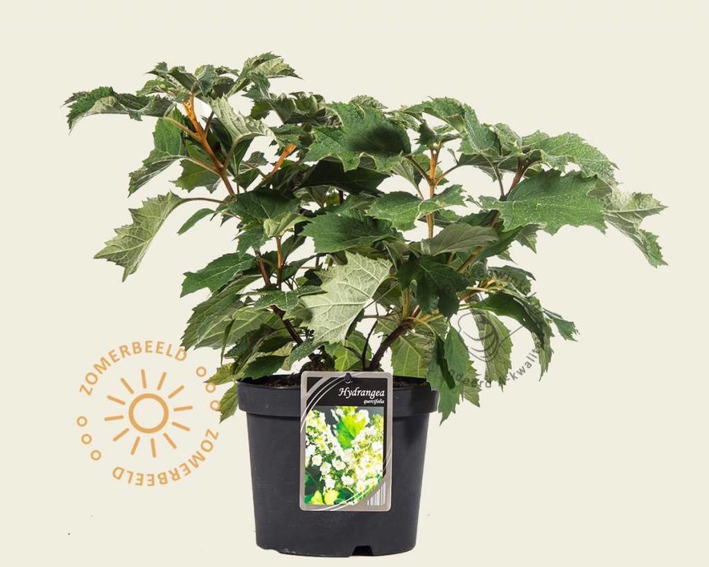 Klik hier om Hydrangea quercifolia te kopen