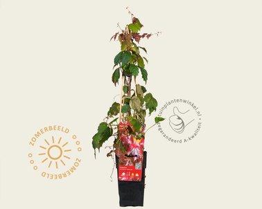 Klik hier om Parthenocissus tricuspidata 'Veitch Boskoop' te kopen