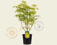 Sambucus racemosa 'Plumosa Aurea'