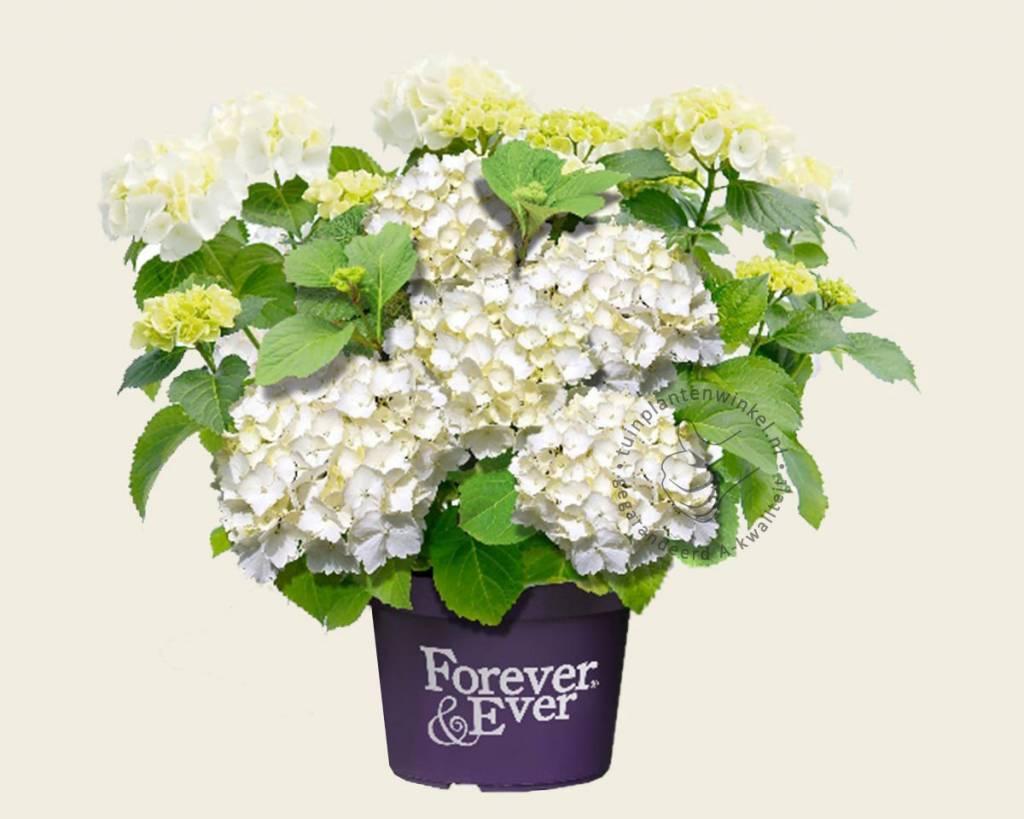 hydrangea macrophylla 39 forever ever 39 wit hortensia. Black Bedroom Furniture Sets. Home Design Ideas