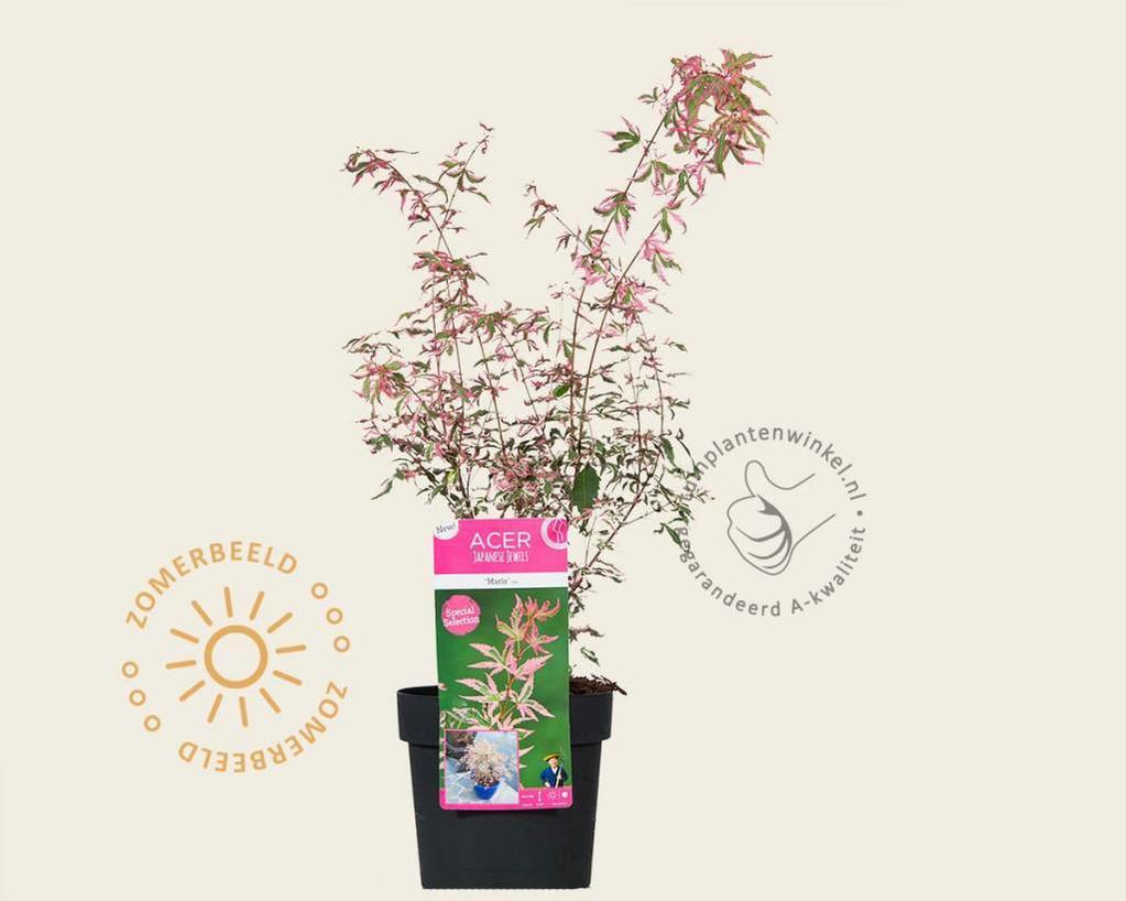 Acer palmatum 'Marlo'