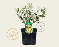 Brachyglottis senecio 'Sunshine'