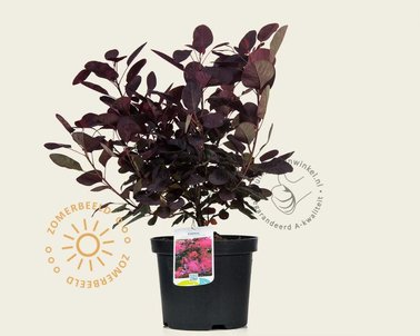 Klik hier om Cotinus coggygria 'Royal Purple' te kopen