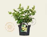 Hypericum 'Magical White'