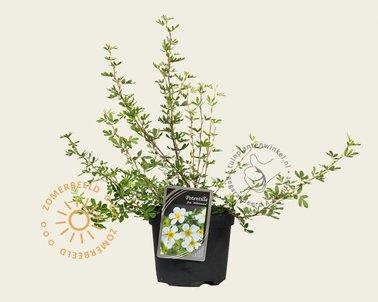 Klik hier om Potentilla fruticosa 'Abbotswood' te kopen