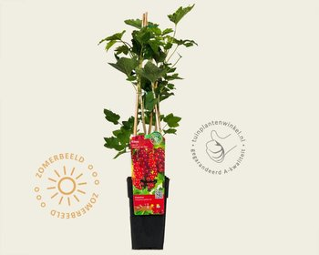 Ribes rubrum 'Jonkheer Van Tets'