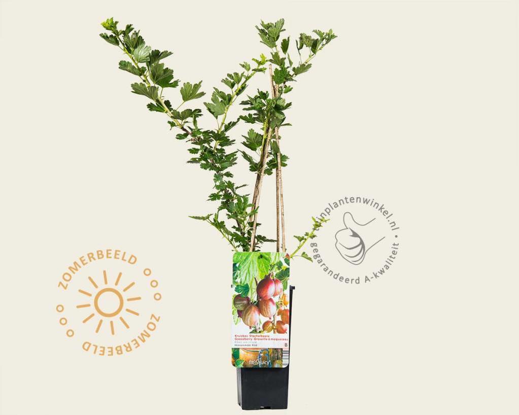 Ribes uva-crispa 'Hinnonmaki Rod'
