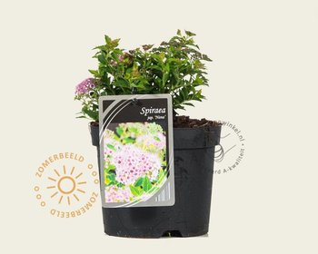 Spiraea japonica 'Nana'