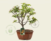 Malus 'Golden Henry' - bonsai in schaal