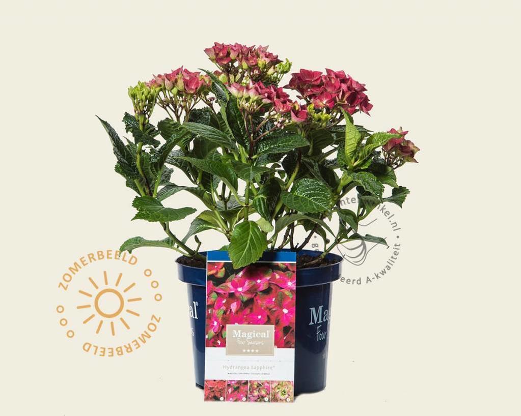 Hydrangea macrophylla 'Magical Sapphire'