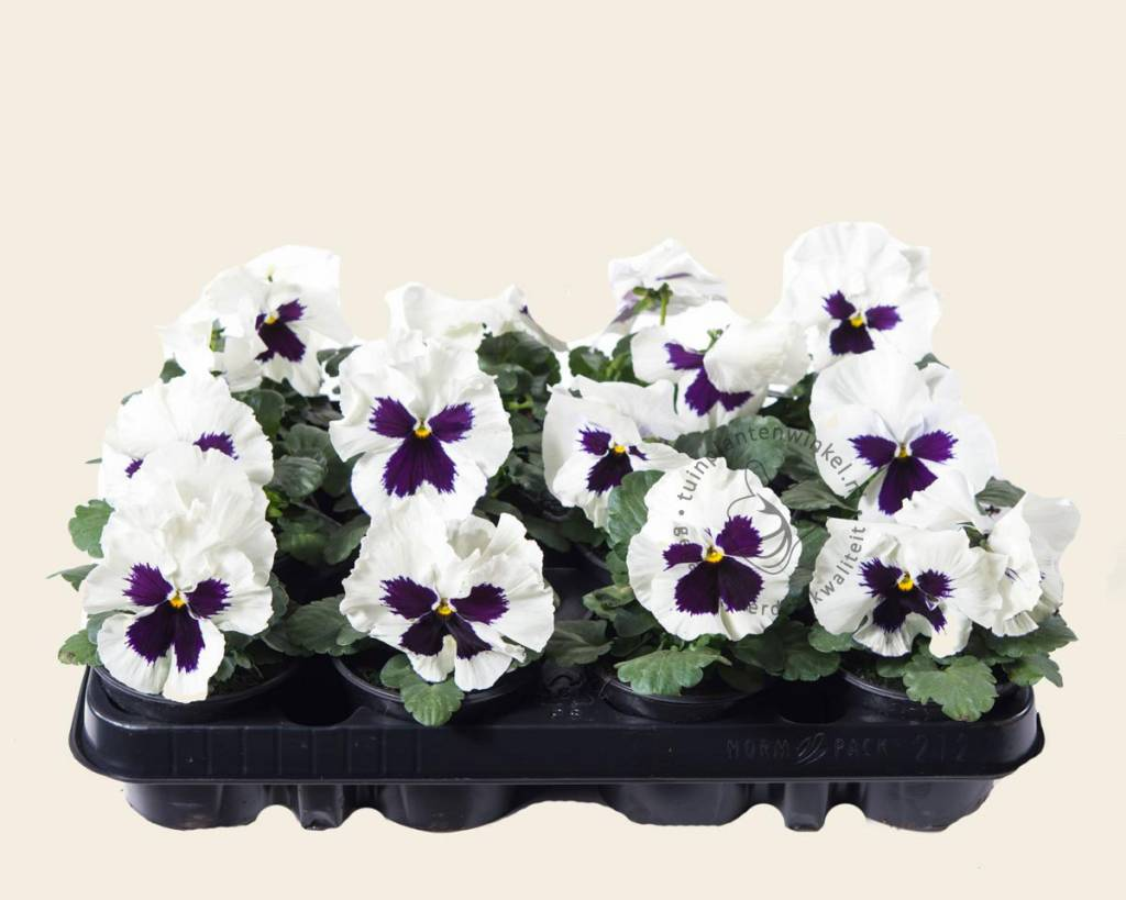 viool grootbloemig 39 alpha wit met oog 39 tray 12 st grootbloemige viool vertrouwd online kopen. Black Bedroom Furniture Sets. Home Design Ideas