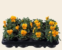 Viool Mini 'Sorbet Oranje'  - Tray 12 st.