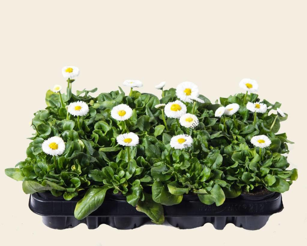 Bellis Wit - Tray 12 st.