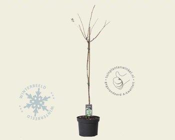 Hydrangea paniculata 'Grandiflora' - 70 cm stam