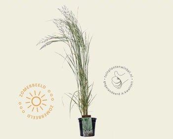 Calamagrostis x acutiflora 'Avalanche'