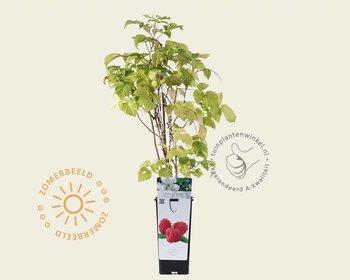 Rubus idaeus 'Zefa Herbsternte'