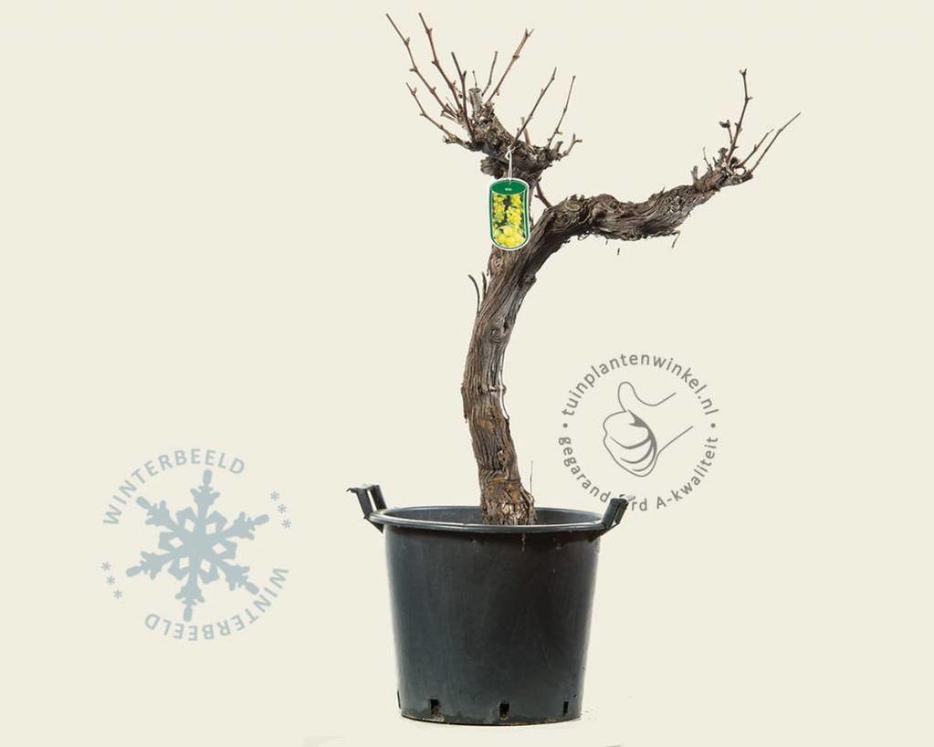 Vitis vinifera 'Wit Breed Oud'