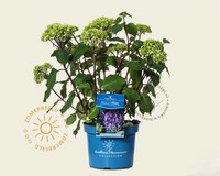 Hydrangea macrophylla 'Endless Summer Bloomstar'