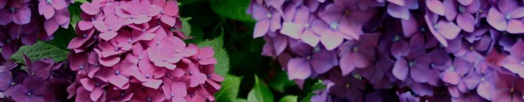 Mooie hortensia