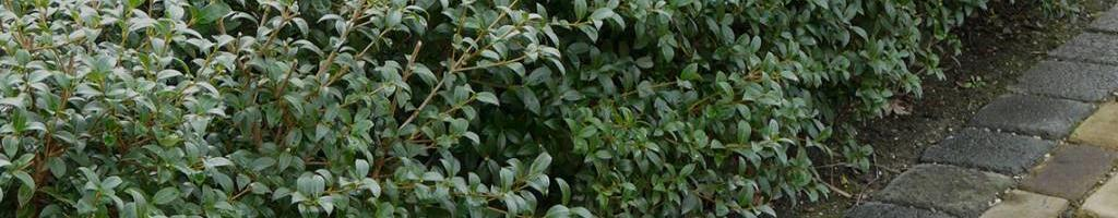 Overige haagplanten