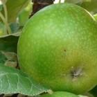 Zuil-fruitbomen