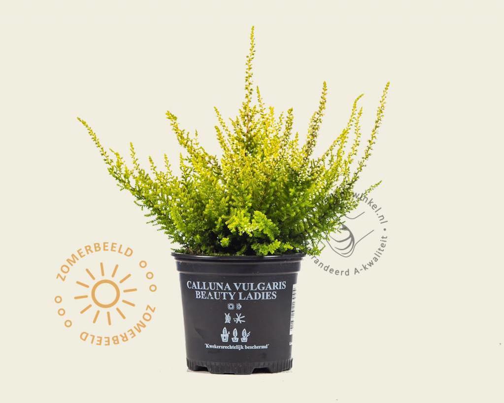 Calluna vulgaris 'Beauty Ladies Anouk' - Wit - Geel loof