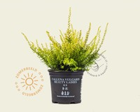 Calluna vulgaris 'Beauty Ladies Anouk' - Wit - Geel loof