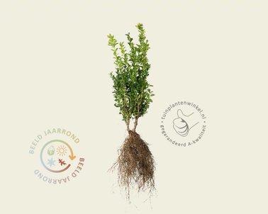 Klik hier om Buxus sempervirens 25/+ - blote worte te kopen