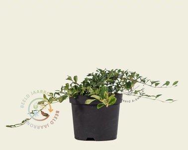 Klik hier om Cotoneaster dammeri te kopen