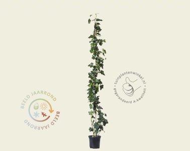 Klik hier om Hedera hibernica 80/100 te kopen