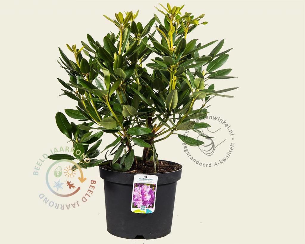 rhododendron catawbiense 39 grandiflorum 39 rododendron. Black Bedroom Furniture Sets. Home Design Ideas