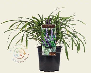 Klik hier om Liriope muscari 'Lilac Wonder' te kopen