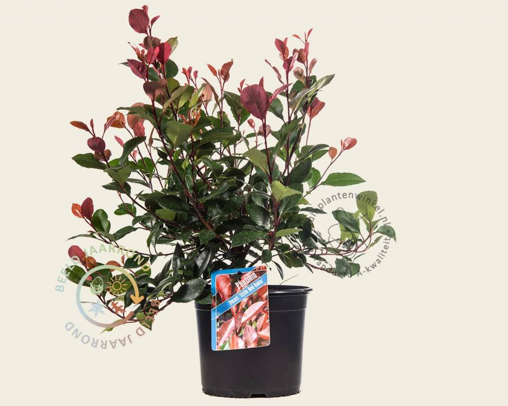 photinia fraseri 39 little red robin 39 glansmispel vertrouwd online kopen. Black Bedroom Furniture Sets. Home Design Ideas