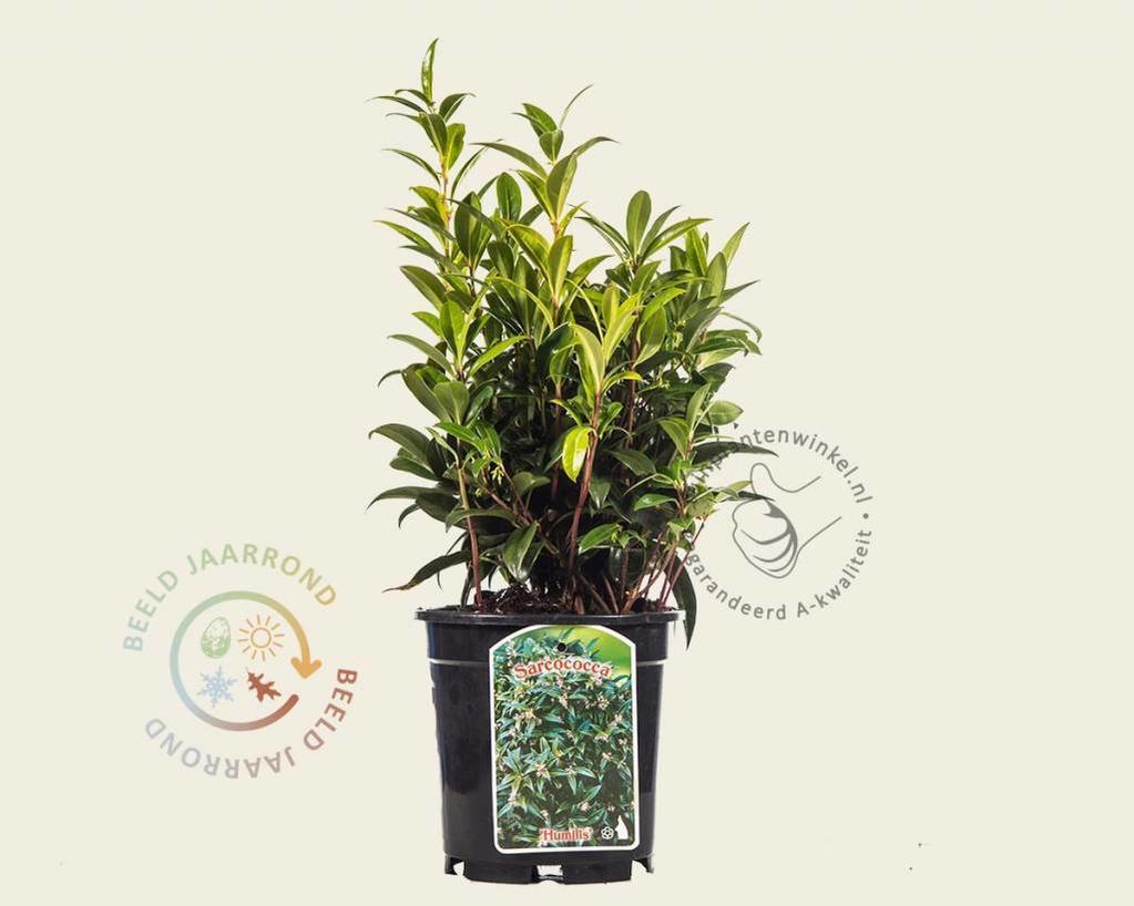 Sarcococca hookeriana var 'Humilis'