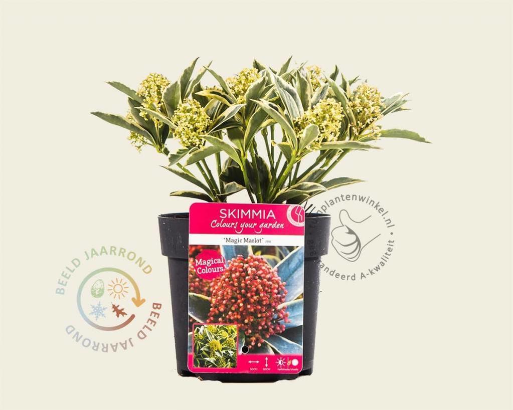 Skimmia japonica 'Magic Marlot'