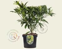 Skimmia japonica 'Kew Green'