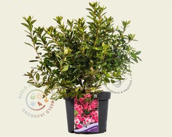 Rhododendron Azalea 'Madame van Hecke'