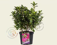 Rhododendron Azalea 'Violetta'