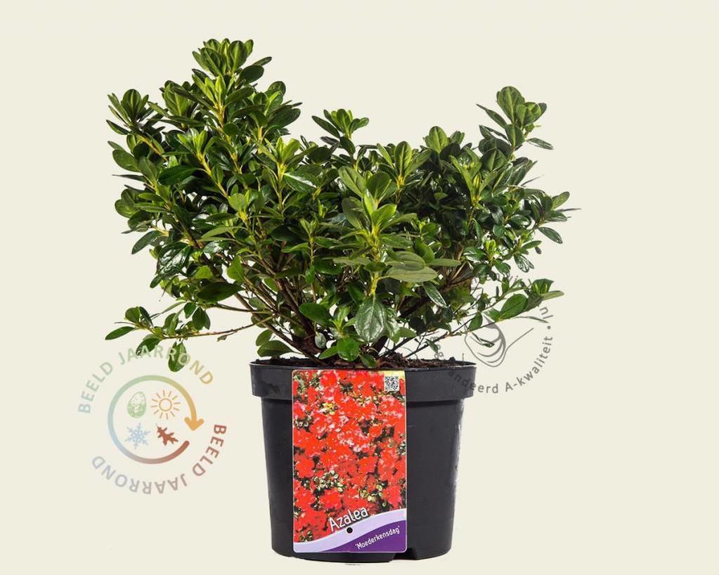 Rhododendron Azalea 'Moederkensdag'