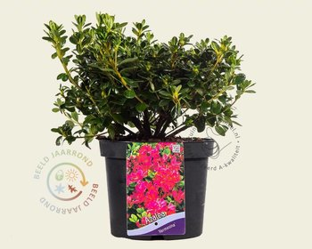 Rhododendron Azalea 'Kermesina' Roze