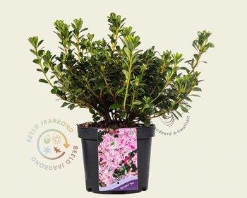 Rhododendron Azalea 'Kermesina Roze - Wit'