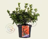 Rhododendron Azalea 'Geisha Orange'